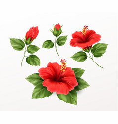 set is beautiful hibiscus flower buds and leaves vector image