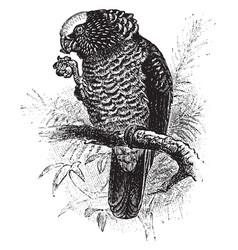 South american hawk parrot vintage vector