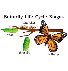 Butterfly life cycle stages vector
