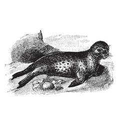 Leopard seal vintage vector