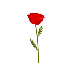 red poppy flower with stem and leaves botanical vector image