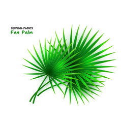 isolated realistic fan palm vector image