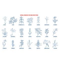 Best medicinal herbs to treat sinus infection vector