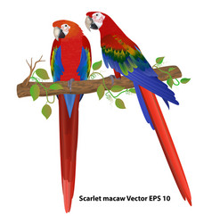Couple of scarlet macaw on a branch isolated vector