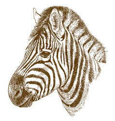 Engraving zebra head vector