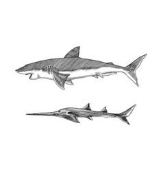 great white shark or mackerel shark and sixgill vector image