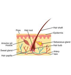 hair and human skin anatomy vector image vector image
