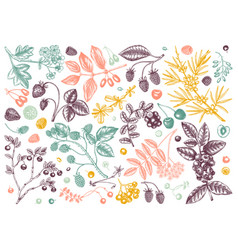 Hand drawn summer berries in color collection vector