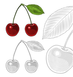 Sour cherry with leaf in vintage engraving style vector