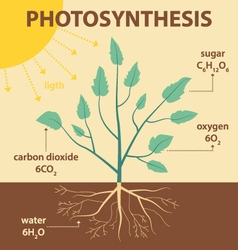 schematic diagram photosynthesis plant vector image