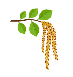 birch branch with earrings spring came vector image