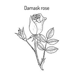 Damask rose rosa damascena ornamental and vector