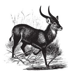 Kobus sing sing antelope vintage vector