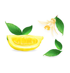 lemon fruit plant citrus vector image