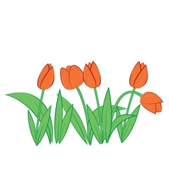 tulips on white background vector image
