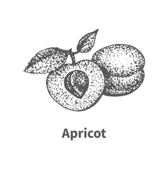 hand-drawn apricot vector image