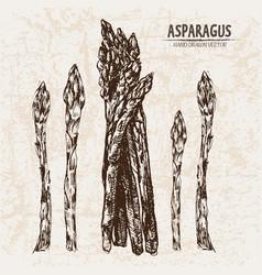 Digital detailed line art asparagus vector
