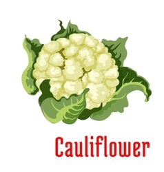 Cauliflower vegetable plant icon vector