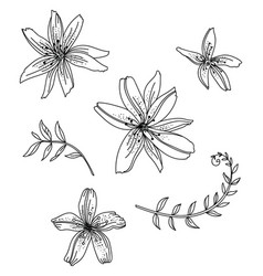 line art set lily flower vector image