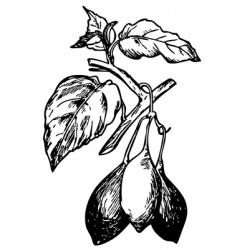 tamarillo vector image