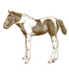 Engraving antique horse foal vector