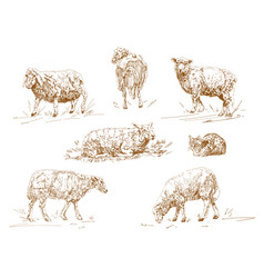 engraving three sheep on vector image
