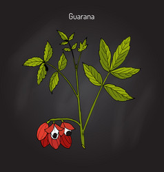 Guarana branch with fruit and leaves vector