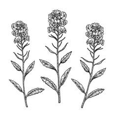 hand drawn set plant rape vintage vector image