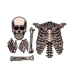 Human skeleton set vector