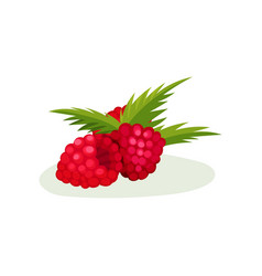 fresh pink raspberries with green leaves vector image