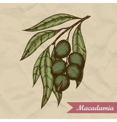 Macadamia nut branch hand drawn engraved vector
