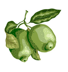 Lime fruit with leaves on the branch sweet sort vector
