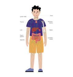 Lymphatic system in human body vector