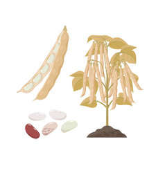 Ripe haricop bean plant with open pods and seeds vector