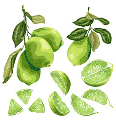 Lime parts set with lime fruit on the branch vector