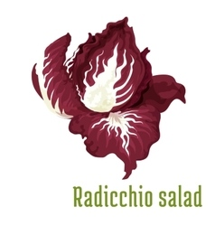 Radicchio salad Vegetable plant icon vector