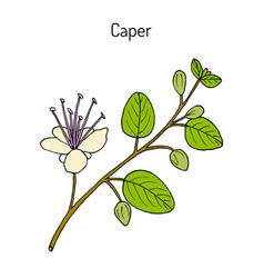 Caper bush capparis spinosa or flinders rose vector
