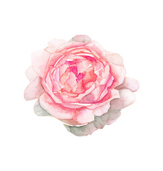 Watercolor pink flower painting on white vector
