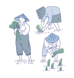 chinese farmers planting rice seedlings vector image