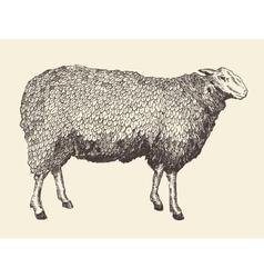 sheep intage engraving vector image
