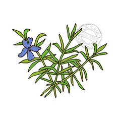 Hand drawn rosemary vector