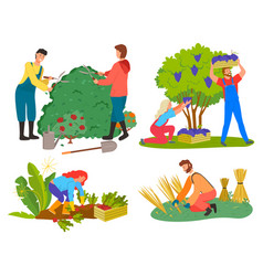 People picking grapes wheat and beetroots set vector