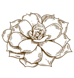 engraving of succulent vector image vector image