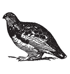 Rock ptarmigan summer plumage vintage vector
