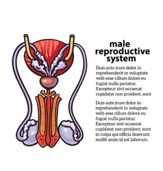 Male reproductive system vector image