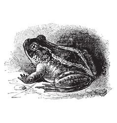 Spadefoot toad vintage vector