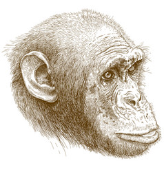 engraving of chimp muzzle vector image