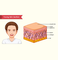 Scientific medical youthful skin section vector