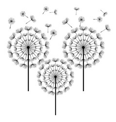 black dandelion isolated on white background vector image vector image