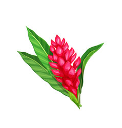 ginger flower tropical flower vector image